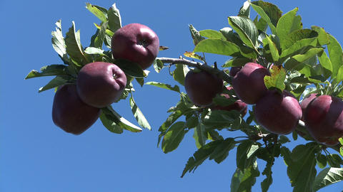Red Delicious Apple Branch stock footage