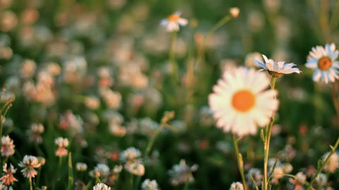 Daisies On A Meadow Of Clover stock footage