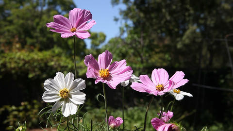 Cosmos Flowers In Summer stock footage