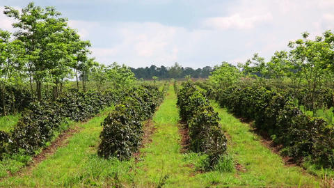 Industrial coffee tree plantation, farm, garden, L Footage