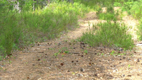 The Path Trail In Between The Tall Pine Trees GH4  stock footage