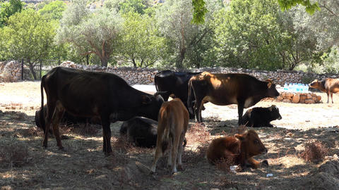 Cattle Breeding , Cows Have A Rest stock footage
