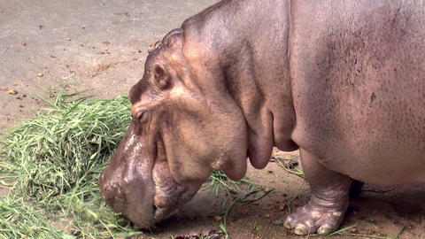 Hippo Close Up stock footage