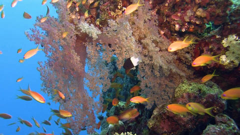 Reef Soft Coral With Lots Of Orange Fishes stock footage