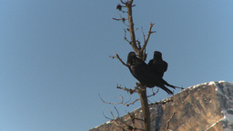 HD2009-1-7-5 Ravens In Tree stock footage