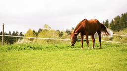 Brown Horse Eating Grass On Green Lawn stock footage