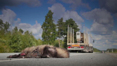 Forest Truck Passed By A Dead Animal Raccoon Dog B stock footage