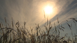 HD2009-6-32-42 Windy Grass And Sun stock footage