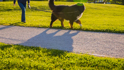 Couple With Two Big Dogs Walking In Park Leg Shot stock footage