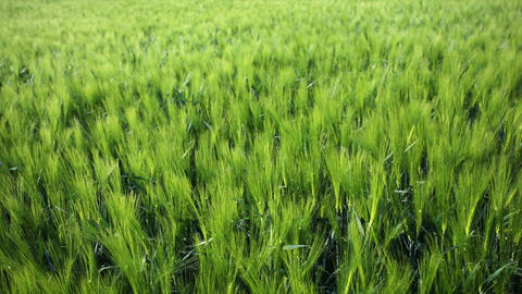 Rye Field In The Wind stock footage