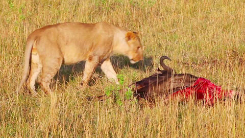 Lioness Wounded While Hunting In The Left Hind Leg stock footage
