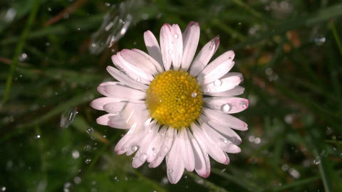 Water falling on daisy in garden Footage