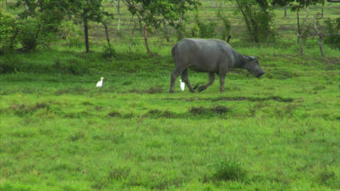 water buffalo ox with 2 white birds Footage