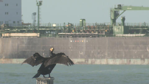 Oil Tanker And Cormorant Seabird stock footage