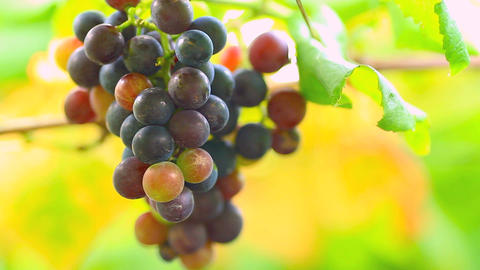 A Bunch Of Grapes On The Blurred Background stock footage