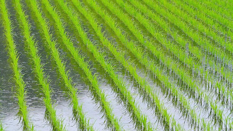Young Rice At Rice Fields stock footage