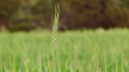Head of Wheat in a Green Wheat Crop Footage