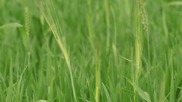Two Heads Of Barley Plants In A Green Crop stock footage
