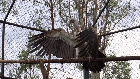 A Giant Vulture Open Its Larger Wings Sitting On A stock footage
