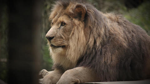 King Of Animals Lion, Resting After Great Meal In  stock footage