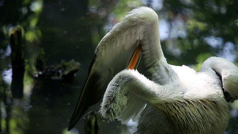 Pelican Celaning Its Wings stock footage