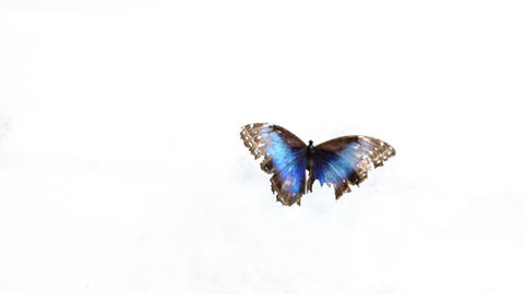 Butterfly On White Background stock footage