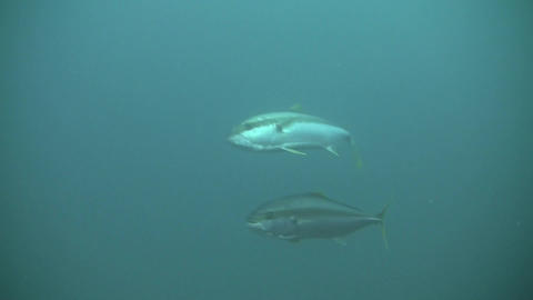 Yellow Tail KingFish stock footage