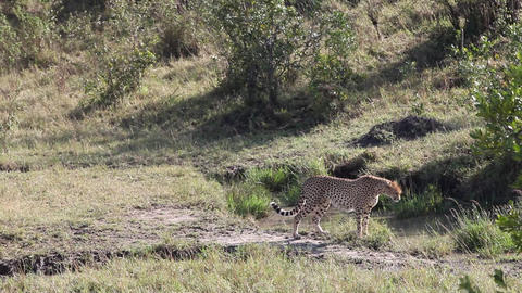 Cheetah Africa Wildlife Safari Stalking stock footage
