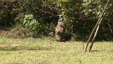 Malawi: Wild Boar In Savanna stock footage