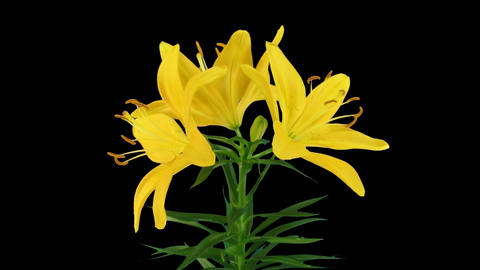 Stereoscopic 3D time-lapse of opening yellow lily (right eye) 1a Footage