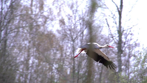 A White Stork Spreading Its Wings stock footage