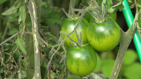 Green Tomatoes On A Branch Of A Bush. 4K stock footage
