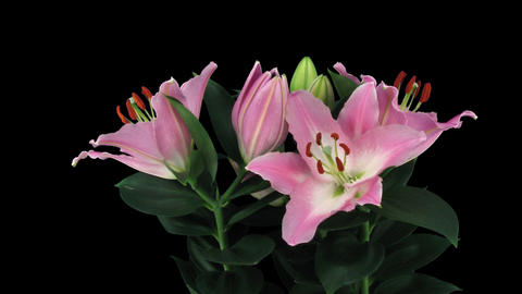 Stereoscopic 3D time-lapse of opening pink lily (right eye) 4a Footage