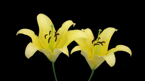 Stereoscopic 3D time-lapse of opening yellow lily (right eye) 2a Footage
