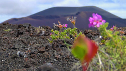 plant living on dead volcanic ground defocus Footage