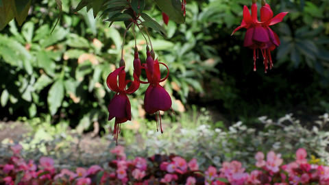 Fuchsia stock footage