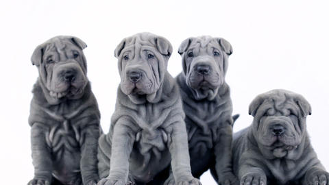 Four Shar Pei Pups Sitting in the Studio Footage