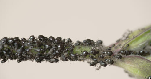 The flock of small black aphid on a stem FS700 4K  Footage