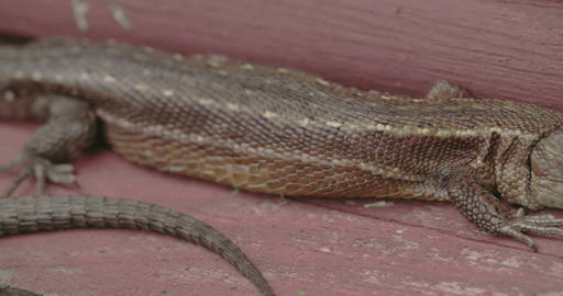 A Brown Long Tail Common Lizard Stuck On The Wood stock footage
