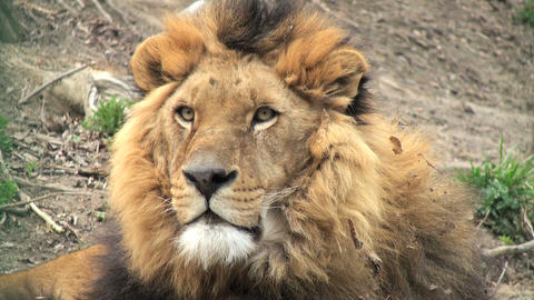 Lion Resting stock footage