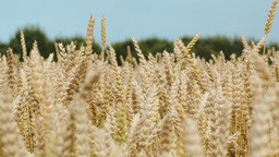 Ripe Wheat On A Bright Day stock footage