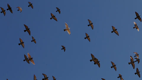 Flock Of Birds In A Cloudless Sky stock footage
