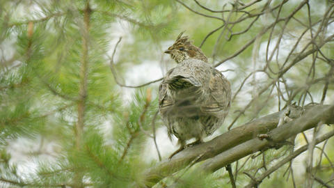 Hazel grouse hiding in the branches of a pine Footage