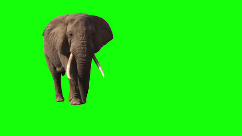 African Elephant, Close Up. Green Screen stock footage