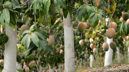 Mangoes Fruit Hanging In Plantation 2 stock footage