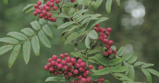 Bunch Of Sorbus Aucuparia Fruits That Are Pinkish  stock footage