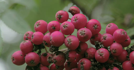 Close Up Look Of The Bottom Of The European Rowan  stock footage