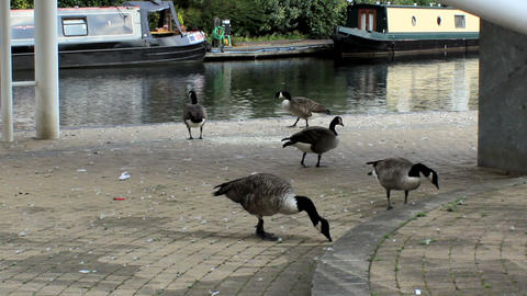 Flock of Canada Geese on the waterfront Footage