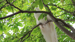White Peacock Rest In A Royal Garden In Prague stock footage