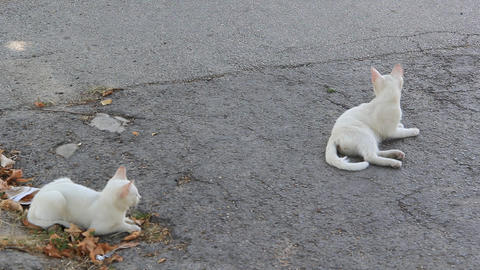 Two White Kitten Lying On The Street 1373 stock footage